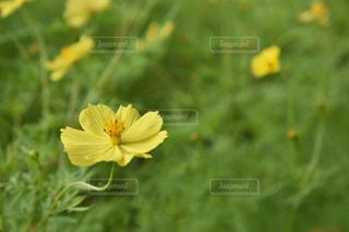 自然,風景,花,お花畑,コスモス,黄色,秋桜,yellow