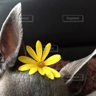 花,黄色,イエロー,yellow,イタグレ,黄花コスモス,のせのせ