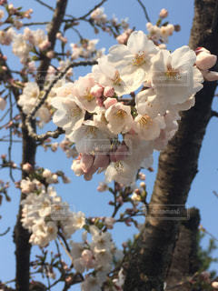 公園,春,桜,花見,お花見