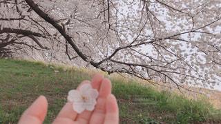 自然,公園,春,桜,きれい,堤防,手,満開,草,樹木,お花見,草木