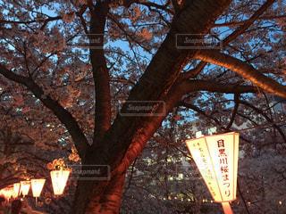 桜,サクラ,目黒川,さくら