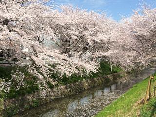 春,桜,屋外,川,さくら