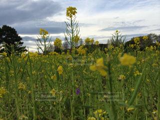 公園,花,屋外,黄色,菜の花
