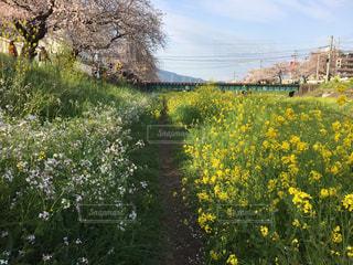 フィールド内の黄色の花の写真・画像素材[1833246]