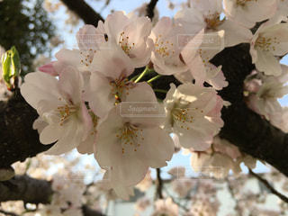 春,桜,屋外,樹木