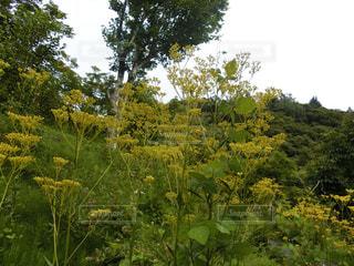 自然,花,晴れ,黄色,北軽井沢