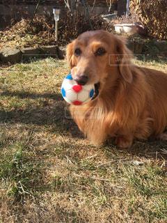 イケメン,可愛い,愛犬,ボール好き