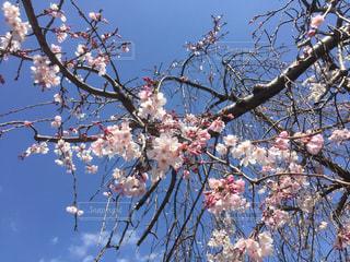 自然,花,春,桜,木,花見,サクラ