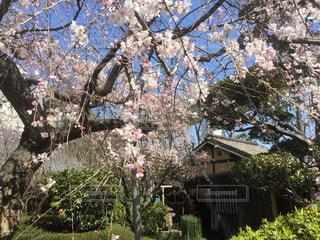 自然,春,桜,木,花見,サクラ,樹木