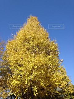 自然,秋,黄色,樹木,イエロー