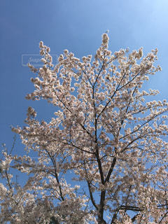 桜,青空,晴天,花見,桜と空