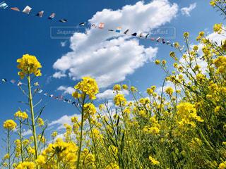 菜の花と青空と万国旗🏳️🌈の写真・画像素材[1842498]
