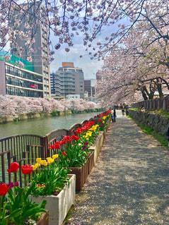 自然,桜,屋外,ピンク,花見,チューリップ,お花見,ピクニック,スプリングライフ