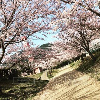 花,春,桜,花見,桜並木,卒業