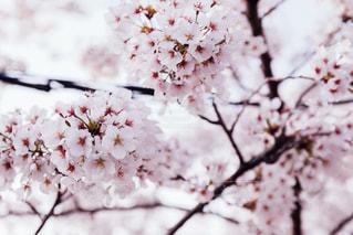 桜の写真・画像素材[1835271]