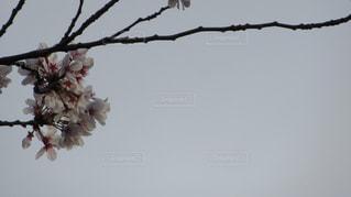 風景,花,春,桜,樹木,お花見,卒業,旅立ち,出会い