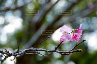自然,花,春,桜,屋外,花見,お花見,ライフスタイル