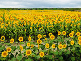 自然,風景,花,ひまわり,黄色,景色,草木,日中