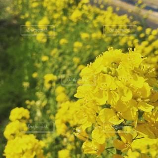 花,黄色,菜の花,yellow