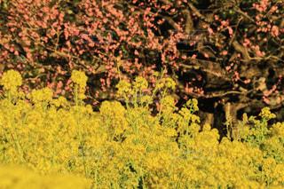 自然,花,春,ピンク,梅,綺麗,黄色,菜の花,景色,樹木,可愛い,梅の花,pink,草木,yellow