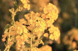 公園,花,春,花畑,綺麗,黄色,菜の花,草木