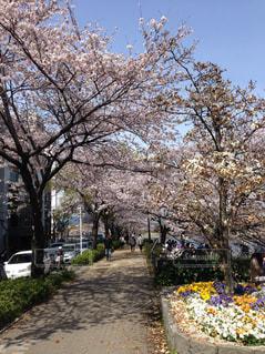 春,屋外,樹木,草木,桜の花,さくら,縁石