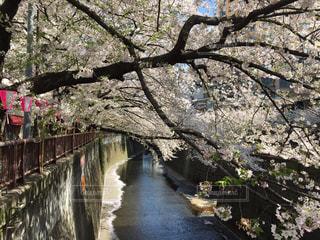 桜,橋,屋外,川,桜並木