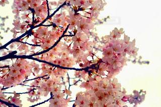花,春,桜,屋外,ピンク,サクラ,日本,flower,桃色,pink,横浜市,さくら
