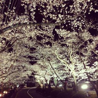 自然,花,春,桜,夜,屋外,綺麗,夜桜,樹木,ライトアップ,桜の花,さくら,ブロッサム