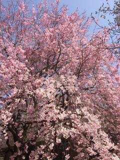森林,ピンク,樹木,草木,桜の花,さくら