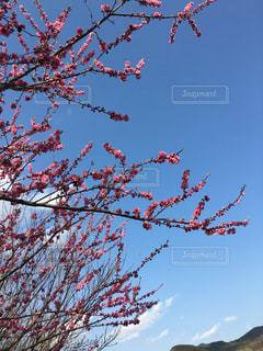 空,春,桜,梅,花見,ピクニック