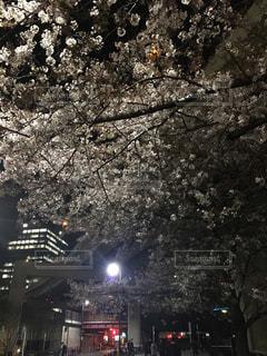 桜,ピンク,夜桜,満開,お花見