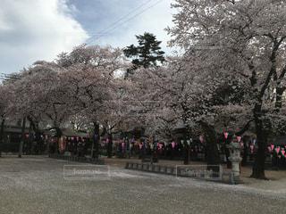 春,桜,ピンク,満開,お花見,川越,桜の絨毯
