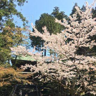 自然,空,花,春,桜,屋外,季節,花見,樹木,お花見,旅行,鎌倉,日中,さくら