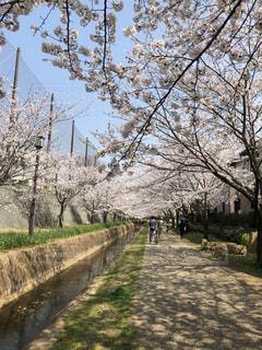 桜,お花見,遊歩道,桜のトンネル