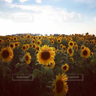 自然,風景,空,ひまわり,景色,ひまわり畑
