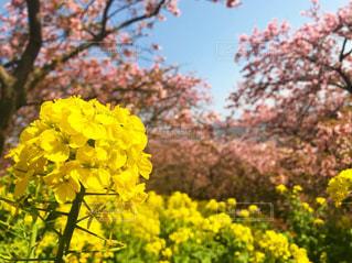自然,花,春,桜,屋外,晴れ,黄色,菜の花,花見,お花見
