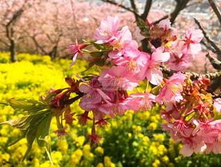 自然,花,春,桜,晴れ,菜の花,花見,お花見
