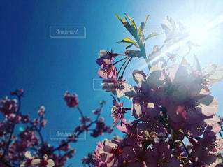 春,桜,屋外,晴れ,青空,花見,お花見,逆光