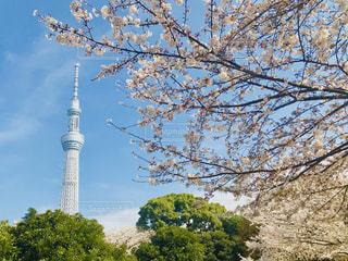 春,桜,屋外,東京,晴れ,スカイツリー,花見,お花見