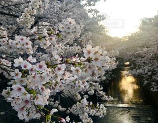 春,桜,屋外,東京,夕暮れ,花見,お花見,目黒川