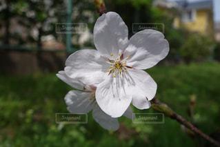 花,春,桜,草木