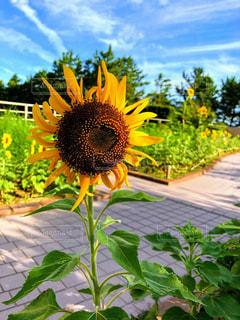 花,夏,ひまわり,黄色,草木
