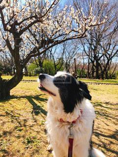 犬,公園,春,梅