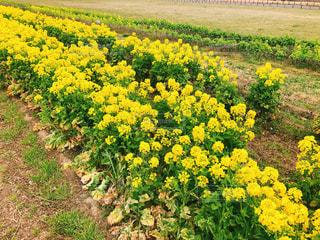 フィールド内の黄色の花の写真・画像素材[1864227]