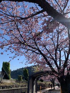 桜,花見,熱海,さくら