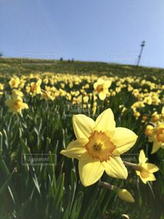 自然,空,花,春,景色,水仙,滋賀,琵琶湖
