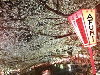 春,桜,東京,夜桜,樹木,お花見,目黒川,さくら