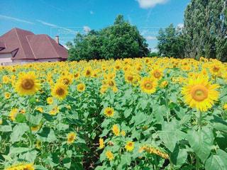 夏,お花畑,ひまわり,黄色,ドライブ