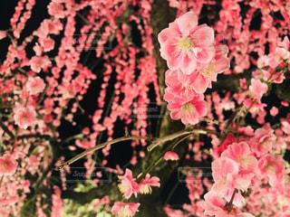 自然,春,梅,お花見,ライトアップ